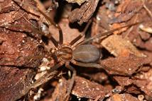 reprodução das aranhas