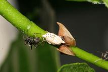 formigas - ciclo de vida