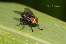 biologia das moscas