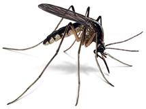 mosquito/pernilongo