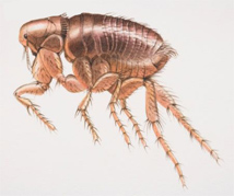 pulgas - biologia