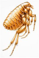 pulgas - hábitos