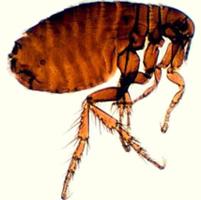 pulgas - ciclo de vida