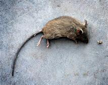 ratos - ciclo de vida