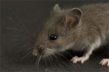 ratos - problemas na sociedade e doenças
