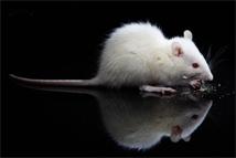 ratos - biologia